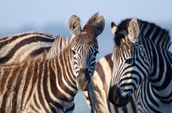 Zebras looking at camera Stock Photography