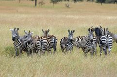 Zebras looking at lions Stock Photography
