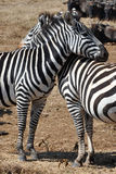 Zebras in love. Two zebras hugging each other at Ngorongoro Conservation Area - Tanzania stock photos
