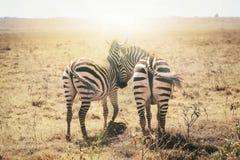 Zebras in love. Masai Mara, Kenya, Africa stock photo