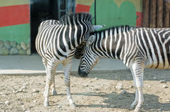 Zebras, love and tenderness. Royalty Free Stock Photo
