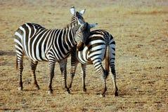 Zebras loving Imagens de Stock Royalty Free