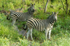 Zebras. In lush growth on a mountain Stock Images