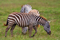 Zebras in the Maasai Mara Royalty Free Stock Photo