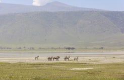 Zebras in Maasai Mara, Kenya Royalty Free Stock Photos