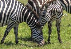 Zebras in Maasai Mara, Kenya Royalty Free Stock Photo