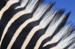 Zebras maine close-up Stock Images
