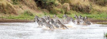 Zebras in the Mara River Stock Photography