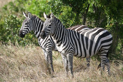 Zebras on the Masai Mara Stock Photos