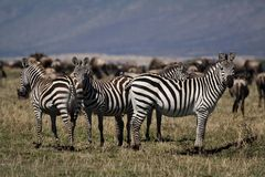 Zebras, Masai Mara Royalty Free Stock Image