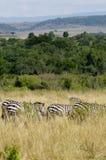 Zebras, Masai Mara Στοκ Φωτογραφία
