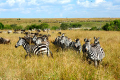 Zebras, Masai Mara Stock Photo