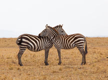 2 zebras. In Masai Mara royalty free stock photos