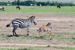 Zebras Masai Mara 7 Στοκ εικόνα με δικαίωμα ελεύθερης χρήσης