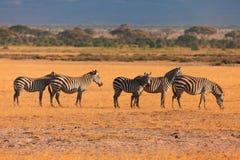 Zebras, Masai Mara Stock Images