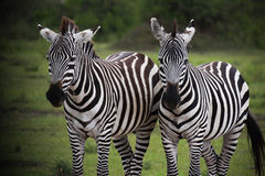 Zebras. In Masai Mara National Reserve, Kenya royalty free stock photography
