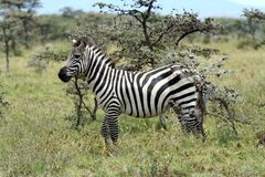 Zebras in the Masai Mara Royalty Free Stock Image