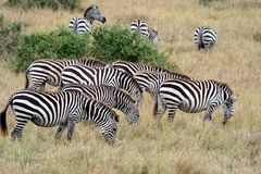 Zebras in the Masai Mara Royalty Free Stock Photos