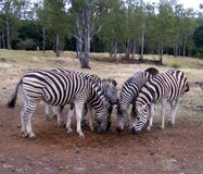 Zebras meeting stock images