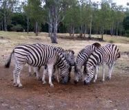 Zebras meeting stock images