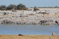 Zebras met vijverwater in Nationaal Park Etosha stock foto