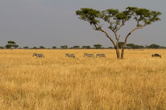 Landscape with zebra herd Royalty Free Stock Photography
