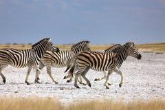 Zebras migration in Makgadikgadi Pans National Park. Running migration zebras at salt pan in Makgadikgadi Pans National Park - Botswana royalty free stock photography