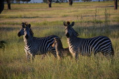 Zebras. Mikumi National Park, Tanzania. The Mikumi National Park is a national park in Mikumi, near Morogoro, Tanzania. The Mikumi is bordered to the south with Royalty Free Stock Photography