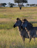 Zebras. Mikumi National Park, Tanzania. The Mikumi National Park is a national park in Mikumi, near Morogoro, Tanzania. The Mikumi is bordered to the south with Royalty Free Stock Photos