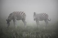 Zebras in the mist Royalty Free Stock Photography