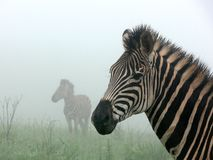 Zebras in the mist Stock Photography