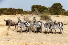 Zebras mit einem Gnu zur großen Migrationszeit in Serengeti, Afrika, hundrets von Gnus zusammen stockfoto
