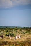 Zebras mit Jugendlichem Lizenzfreies Stockfoto