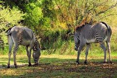 Zebras, moeder & zoon, het eten Stock Afbeeldingen
