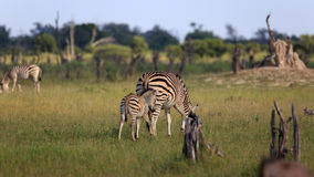 Zebras. In the Moremi Game reserve in Botswana Stock Photography