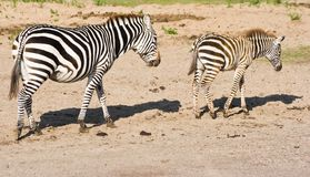 Zebras, mother and foal, passing by Royalty Free Stock Photo