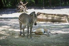 Zebras, 2015 Stock Photo