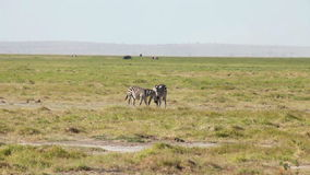 Zebras in mutual grooming, Amboseli park, Kenya. Two zebras grooming each other - nibbling the hair on each others neck and back, Amboseli national park, Kenya stock footage