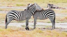 Zebras mutual grooming, Kenya. Two young zebras performing mutual grooming in Amboseli park, Kenya stock footage
