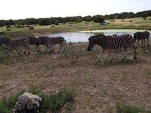 Zebras nähern sich Wasser Stockfotografie