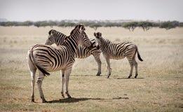 Zebras na planície Imagem de Stock
