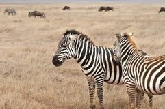 Zebras na região selvagem Fotografia de Stock