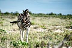 Zebras, Namibië, Afrika Royalty-vrije Stock Afbeelding