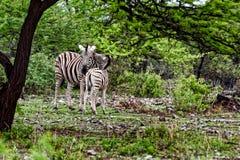 Zebras, Namibië, Afrika Stock Fotografie