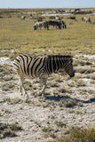 Zebras in Namibia Royalty Free Stock Photo