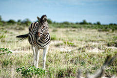 Zebras, Namibia, Afrika Lizenzfreies Stockbild