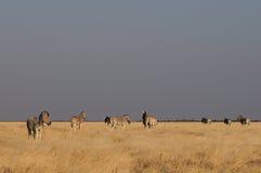 Zebras nas pastagem, nationalpark do ` s de Burchell do etosha, Namíbia, burchelli do equus Imagem de Stock