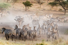 Zebras in Nationaal Park Serengeti Stock Foto