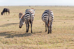 Zebras in Nationaal Park Serengeti Stock Fotografie