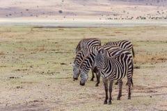 Zebras in national park. Zebras in Serengeti national park. Tanzania stock images